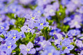 Myosotis Royalty Free Stock Images