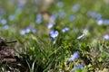 Myosotis Flowers