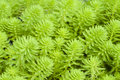 Myriophyllum watermilfoil freshwater aquatic plants Stock Images
