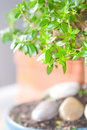 Myrtle bonsai tree Stock Photo