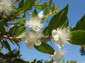 Myrtus blossom Royalty Free Stock Photo