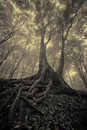 Mysterious looking tree with spread roots Royalty Free Stock Images