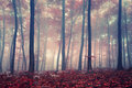 Mystic forest autumn red beech Stock Photo
