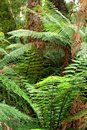 Mystic jungle feelings, Australasian