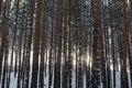 Mystic pine-tree forest in Urals Royalty Free Stock Photo