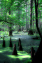 Mystical cypress swamp Royalty Free Stock Photos