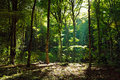 Mystical green forest in the morning with sunbeams through trees Royalty Free Stock Photos