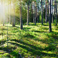 Mystical pine forest in the early morning Royalty Free Stock Photography