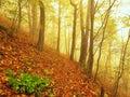 A névoa do outono na floresta da licença dobrou árvores da faia e de bordos com menos folhas sob a névoa dia chuvoso Foto de Stock