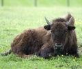 N. American Bison Royalty Free Stock Photos