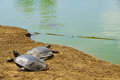 Nahal alexander nature reserve nile soft shell turtles in the stream israel Stock Photo