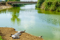 Nahal alexander nature reserve nile soft shell turtles in the stream and the turtle bridge in the background israel Royalty Free Stock Photography