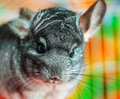 Nahes hohes der chinchilla Stockbild