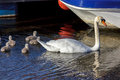 Nairn scotland uk may mute swan cygnus olor with cygne cygnets in on Royalty Free Stock Photos