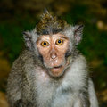 Naive monkey pretended to know nothing Royalty Free Stock Images