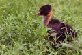 Naked neck chicken in the grass Royalty Free Stock Photo