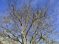 Naked tree branches reaching up to the sky Royalty Free Stock Photo