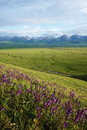 Nalati grassland with snow mountains located in xinjiang cina Royalty Free Stock Photos