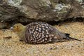 Namaqua sandgrouse pterocles namaqua in south africa Royalty Free Stock Image