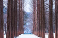 Nami island,Row of pine trees. Royalty Free Stock Photo