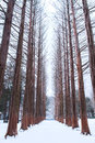 Nami island Row of pine trees in winter. Royalty Free Stock Photo
