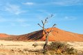 The namib in namibia dead tree front of a red dune desert Royalty Free Stock Photo