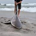 Namibia, shark fishing Royalty Free Stock Photo