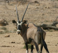 Namibian oryx antelope Royalty Free Stock Images