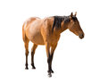 Namibian wild horse from garub desert isolated on white backgrou Royalty Free Stock Photo