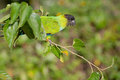 Nanday conure a perched on a branch Royalty Free Stock Photos