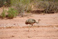 Nandu bird walking in desert Royalty Free Stock Photo