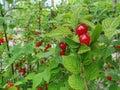Nanking Bush Cherry. Nanking Cherry Royalty Free Stock Photo
