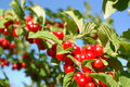 Nanking Cherry Royalty Free Stock Photos