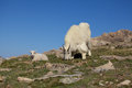 Nanny and baby mountain goat a her kid in the alpine Royalty Free Stock Image