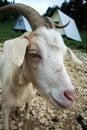 Nanny goat Royalty Free Stock Image