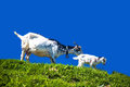 Nanny goat and goatling Royalty Free Stock Photo