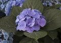 Nantucket Blue Mophead Hydrangea