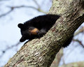 Nap time a black bear cub taking a on a tree limb the location is cades cove in the great smoky mountains national park tn Stock Photo