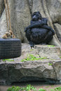 Nap time gorilla take a at the antwerp zoo Royalty Free Stock Image