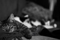 Nap time a grey tabby kitten taking a Royalty Free Stock Photography