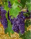 Napa Valley, CA USA - Napal Valley Grapes on a Vine Royalty Free Stock Photo