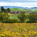 Napa Valley California vineyard, red barn, rolling hills in autumn Royalty Free Stock Photo