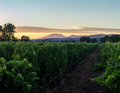 Napa Valley, California vineyard row with mountains at sunset Royalty Free Stock Photo