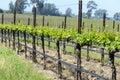 Napa valley california vineyard in spring Royalty Free Stock Images