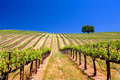Napa Valley Vineyard Perspective Royalty Free Stock Photo