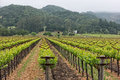 Napa Valley vineyard rows Royalty Free Stock Photo