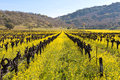 Napa valley vineyards and spring mustard the of are painted with the yellow color of plants blooming in Stock Photography