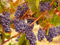 Napa Valley Wine Grapes on the Vine Ready for Harvest Royalty Free Stock Photo