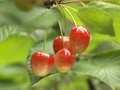 Napol on cherries on the tree Royalty Free Stock Images