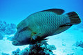 Napoleon wrasse humpback wrasse lipfish in the red sea of egypt Royalty Free Stock Photos
